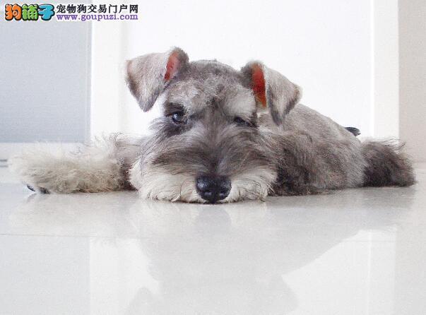 了解狗狗来源与特性 争取选择到合适的雪纳瑞