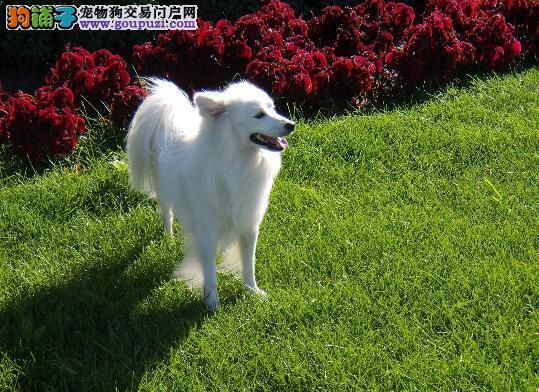 区分银狐犬与相似犬的不同以及分辨方法