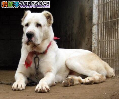 挑选中亚牧羊犬种公犬和种母犬的重要性