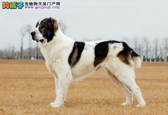 做好准备 教你挑选到十分优秀的中亚牧羊犬