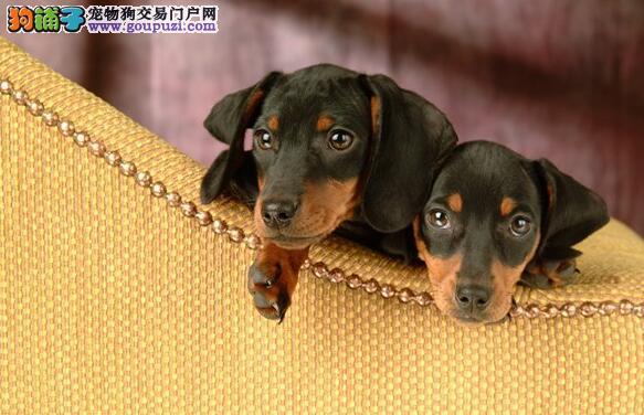 辨伪与挑选 腊肠犬的选购要点与标准
