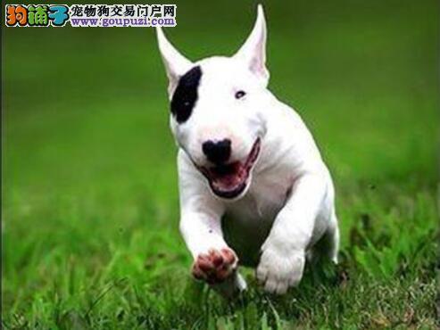 增加狗狗理性认识 初步认知牛头梗的犬种特点