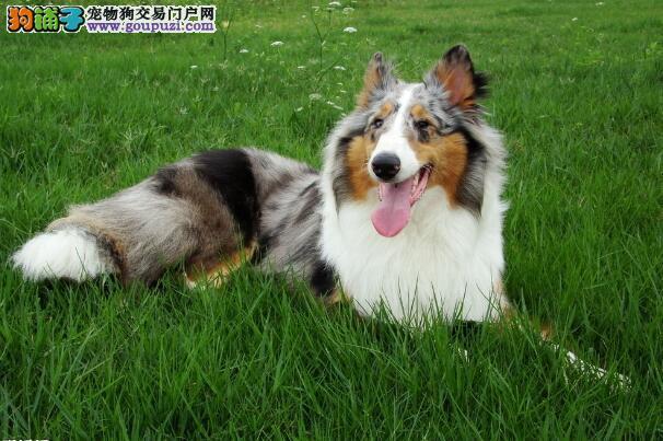 中意伴侣 教你挑选是最适宜饲养的苏格兰牧羊犬
