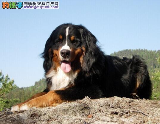 选狗不为难 购买伯恩山犬的注意事项有哪些