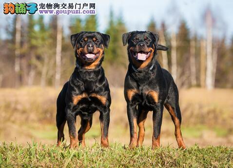 购买优秀罗威纳犬的全新挑选方法