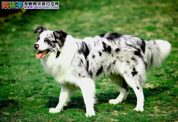 选育优种犬 选择优秀的边境牧羊犬应注意的方面