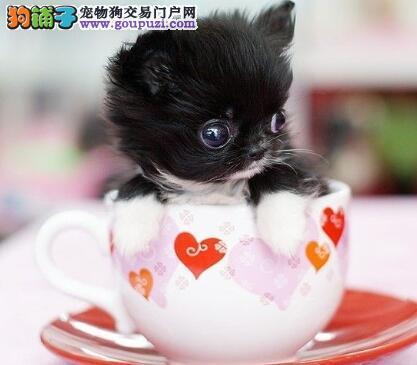 如何购买观赏犬 挑选优秀茶杯犬有哪些方法