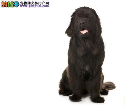 说一说购买纽芬兰犬时主人应考虑的问题