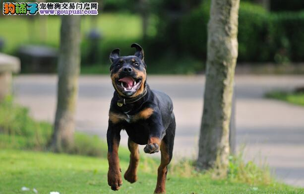 工作犬的选择方式 如何挑选到优秀的罗威纳犬