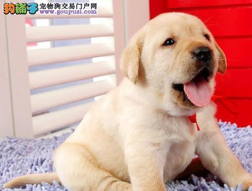 挑选拉布拉多犬应该注意的几个特征