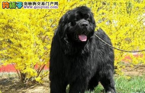 体型的重要性 怎样挑选到身材合适的纽芬兰犬