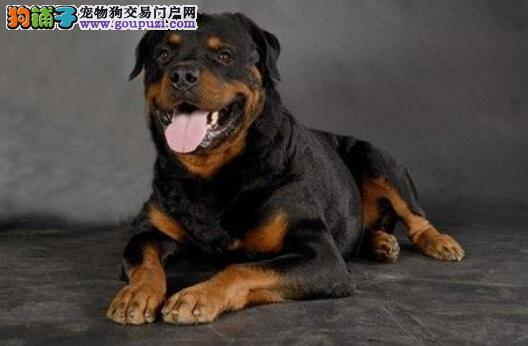 关注挑选技巧 怎样挑选到优秀的罗威纳犬