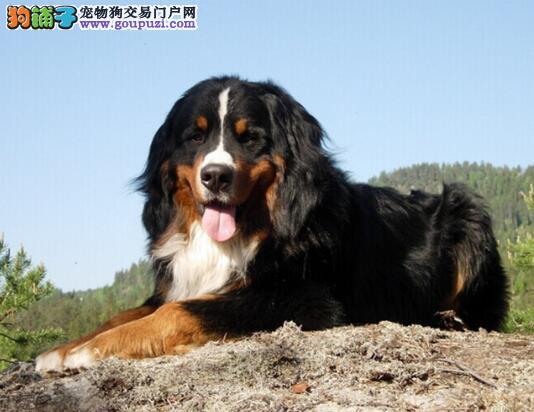 观察伯恩山犬幼犬是否健康的几个方面