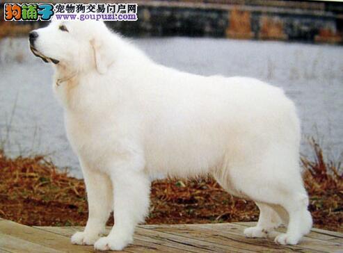 理想中的大白熊犬具有怎样的特征 应如何挑选