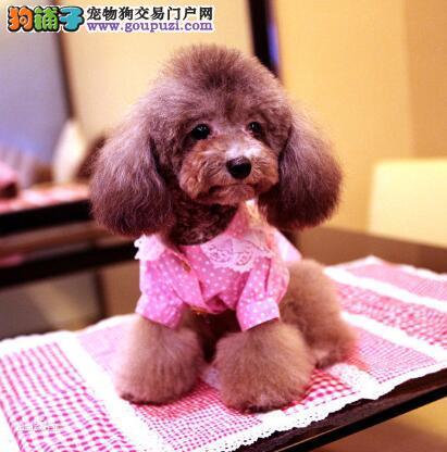 挑选条例 选购健康纯种的泰迪犬有哪些方法