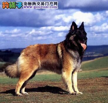 判定狼狗是否优秀的几种有效方法