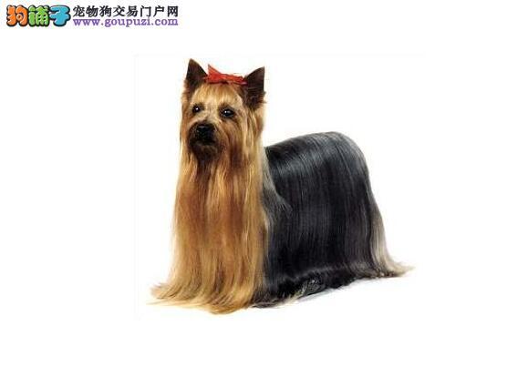 约克夏选购 怎样看狗狗的好坏程度