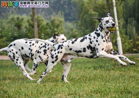 选购无差距 如何辨认纯种斑点狗