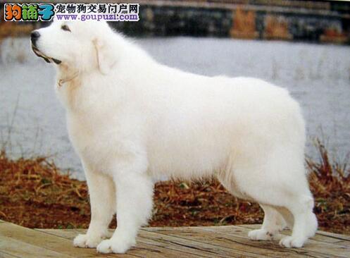 教你一招 健康大白熊犬的表现特征