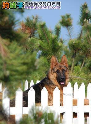 购置狼狗主人应该考虑的问题可分为哪些方面