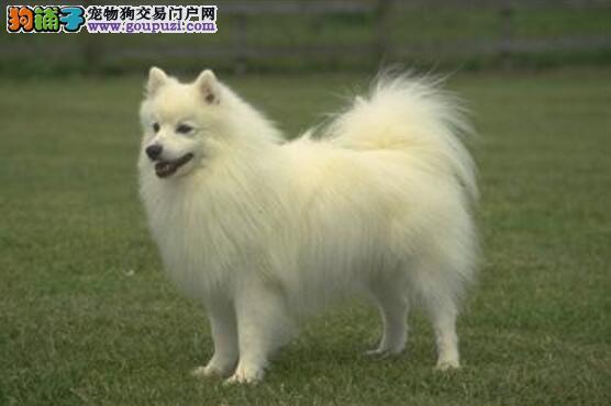 挑选有保证 怎样挑选到优秀的银狐犬