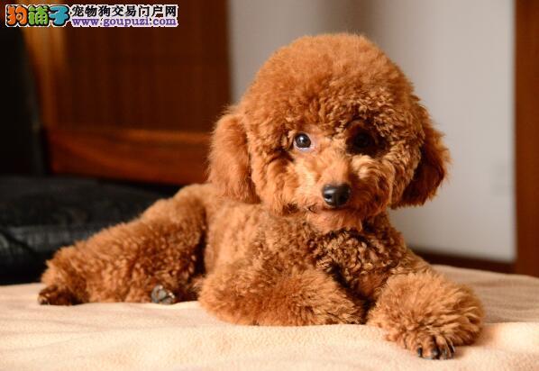 说一说符合犬种标准的泰迪犬具有哪些方面的特点