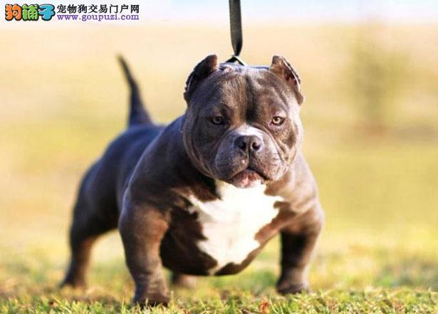 【美国恶霸犬价格】纯种美国恶霸犬多少钱一只(全国报价)