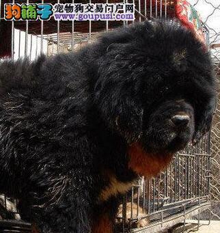 广州哪里有卖纯种藏獒品相优质藏獒幼犬