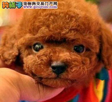 正规犬舍出售品质好的合肥泰迪犬售后保障全2