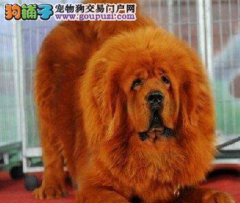 太原出售王者风范高贵气质的大狮头藏獒 送训练光碟