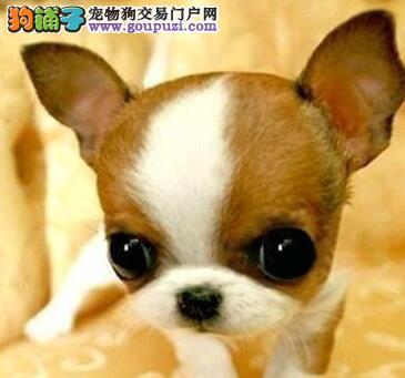 正规犬舍繁殖纯种优秀福州吉娃娃 购买可享受优惠