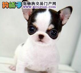 便宜出售直销墨西哥纯种吉娃娃幼犬苹果头 大眼睛公母都有