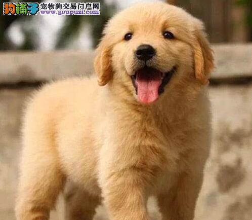 家养纯种金毛犬转让疫苗已做株洲市区可送货