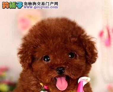 南京实体店出售精品泰迪犬颜色多只公母都有可挑选