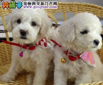 高端贵宾犬幼犬、真实照片保纯保质、签订活体协议