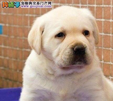 顶级拉布拉多导盲犬出售 血统纯正 健康质保 上门看狗