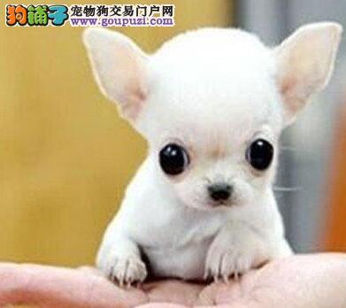 潮州墨西哥纯种超小体吉娃娃幼犬出售吉娃娃专业繁殖