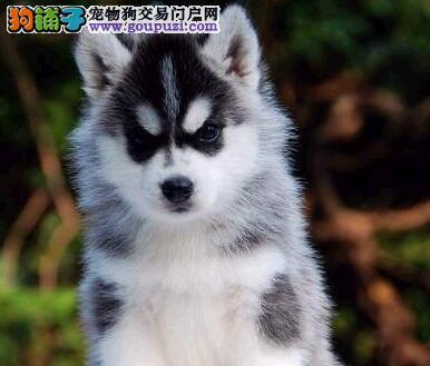 北京养殖场出售蓝眼三把火哈士奇售后可签协议