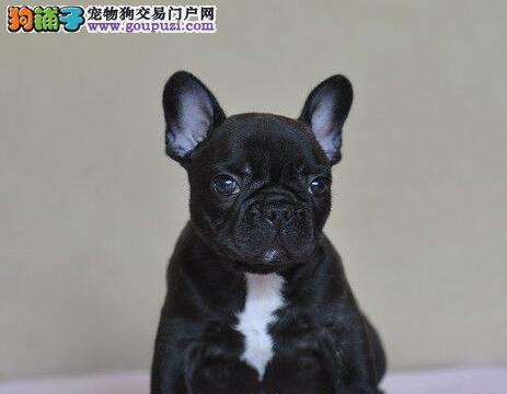 犬舍出售高贵气质顶级超可爱小法斗