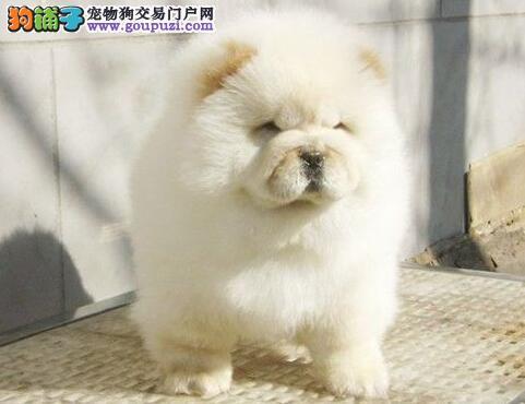 自家繁殖的广州松狮犬找新主人 爱狗人士优先选购