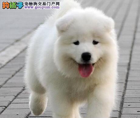 武汉出售纯种微笑天使萨摩耶 三年联保 签订协议