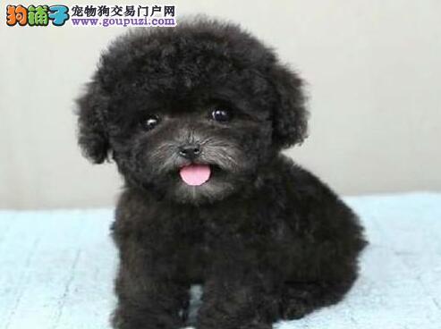 柳州犬舍出售超小体茶杯贵宾犬 保纯保健康可签协议