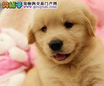 专业繁殖名贵血统南昌金毛犬出售品质有保障