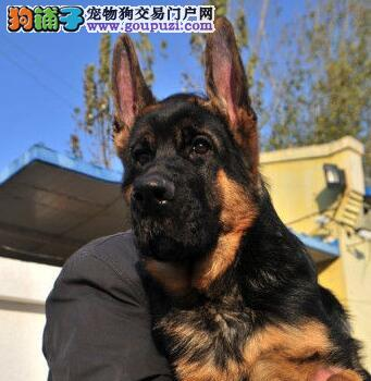 高品质德国牧羊犬转让、可看狗狗父母照片、可签保障协议3