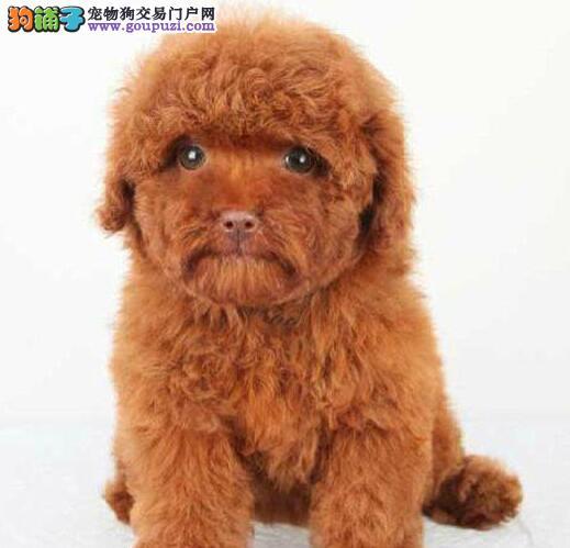 泰迪犬渭南最大的正规犬舍完美售后赛级品质血统保障2