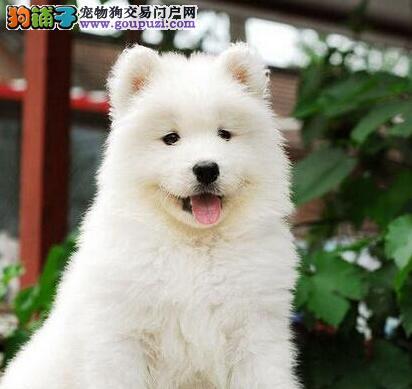 出售雪白澳版南京萨摩耶幼犬 签合同保证幼犬身体健康