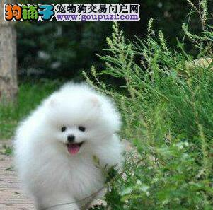 青岛出售博美犬幼犬品质好有保障质保三年支持送货上门