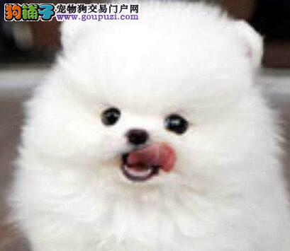 韩国引进种犬 广州正宗精品博美犬,俊介犬,包养活