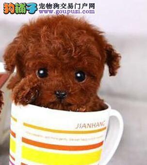 多种颜色的德宏州贵宾犬找爸爸妈妈可签订活体销售协议