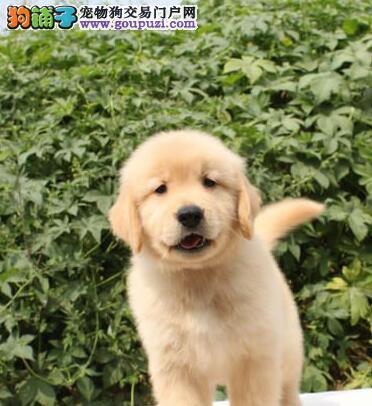 重庆狗场出售金毛犬包养活签协议黄金猎犬幼犬直销